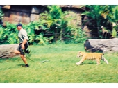 1990's Dreamworld -  Action Shot of Tiger Cub Pursuing Handler