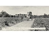70 - Pineapple plantation at Wellington Point