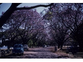 133 - Jacarandas in bloom in New Farm Park