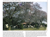 134 - Jacarandas in bloom in New Farm Park