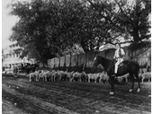 54 - A flock of sheep being driven along Coronation Drive near the Regatta Hotel