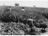 117 - Early photo of a Nudgee pineapple plantation