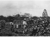 118 - An early photo of the Toombul vineyard at Nudgee