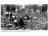 134 - Livestock auction at Newmarket in 1915