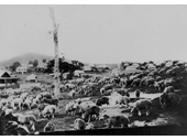 136 - Sheep grazing on Gilbert Rd, Gordon Park, on their way to Newmarket Saleyards in 1920