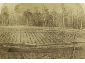 148 - Nicholson's vineyard on Kedron Brook in Grovely in 1864