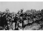 152 - McGinn's vineyard at Ferny Grove in 1938