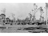 97 - Cattle grazing at Coopers Plains in the 1890's