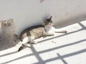 63 - Cat on Santorini