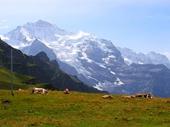 45 - Cows resting below Jungfrau