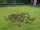 71 - Lorikeets in backyard