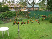 73 - Lorikeets in backyard