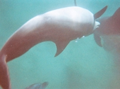 131 - Eilat - Swimming with the Dolphins