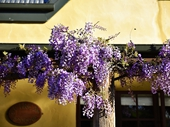 79 - Wysteria at Cottage where Mitch and Megan stayed