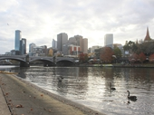 17 - Melbourne - Black Swans on the Yarra River