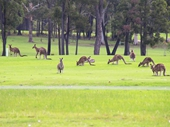 26 - Roos on the local golf course at Merimbula