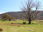 36 - Horses on way to the Snowy Mountains