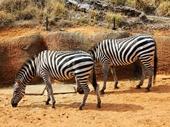 02 - Zebras