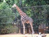 03 - Giraffe