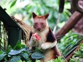 05 - Tree Kangaroo