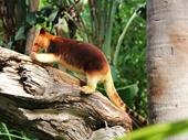 06 - Tree Kangaroo