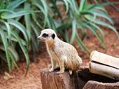 07 - Meerkat