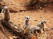08 - Meerkat