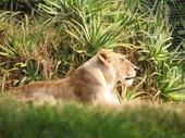 09 - Lion