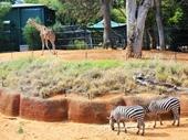 10 - Giraffe & Zebras