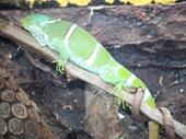11 - Chameleon