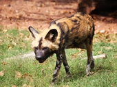 12 - Hyena