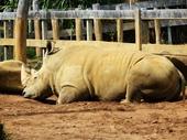 13 - Rhinoceraus