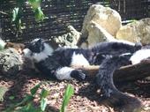 16 - Lemur