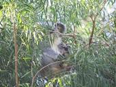25 - Koala