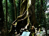 52 - Antarctic Beech at Springbrook