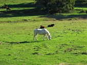 69 - White Horse along Currumbin Creek valley