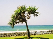 09 - Lone Tree at Burleigh Heads