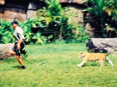 63 - Action Shot of Tiger Cub Pursuing Handler