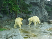 76 - Sea World - Polar Bears