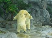 77 - Sea World - Polar Bears