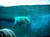 78 - Sea World - Polar Bear swimming