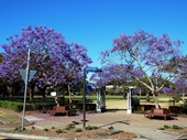 160 - Jacarandas in New Farm Park