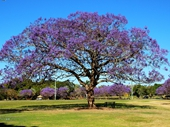 161 - Jacarandas in New Farm Park