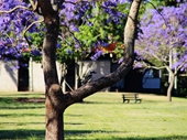 162 - Jacarandas in New Farm Park