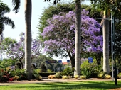 163 - Jacarandas in New Farm Park