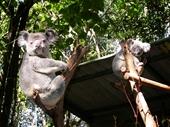 196 - Koalas at Lone Pine